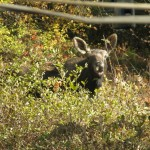 Cow Moose In Shirley's Yard