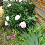Peonies in front of the house