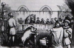 pig-trial