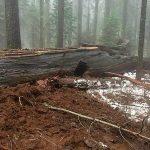 Iconic Redwood 2