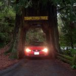 Our car in a redwood tree